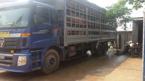 Tái xuất khẩu lợn sang Trung Quốc